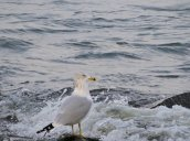 ring-billed gull Lake Ontario campus